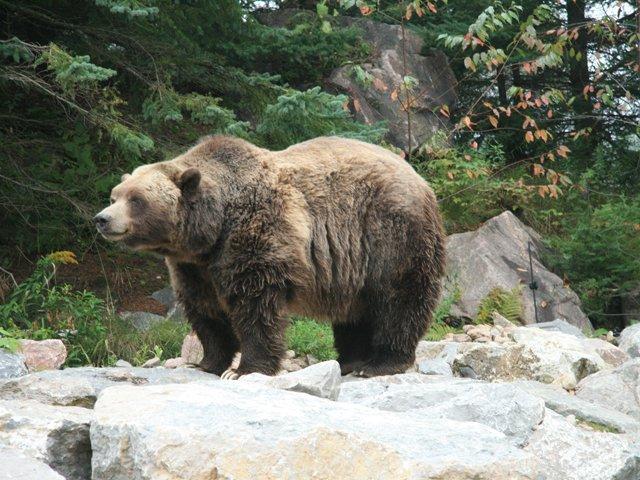 Zoo Sauvage-Grizzly bear - James Stoness 0855.JPG