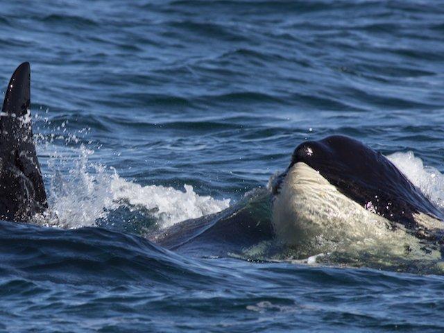 Orca awareness