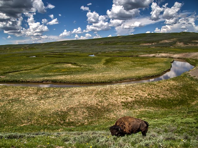 A lone Bison stands beside a lazy river in Yellowstone National Park.jpg