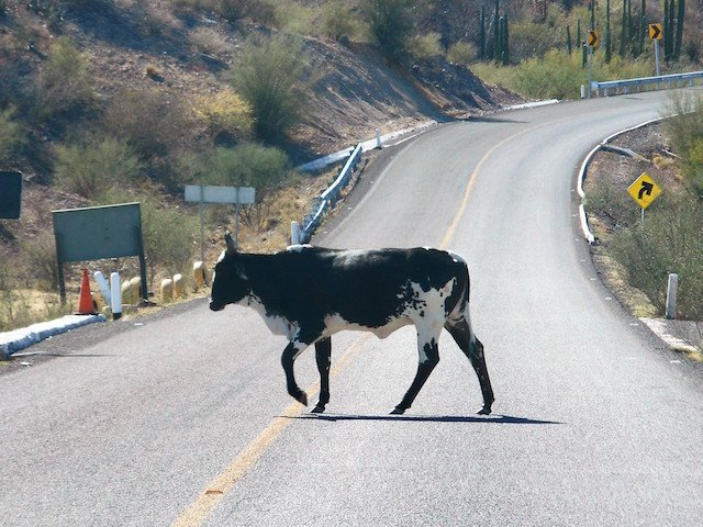 Cow Hazard on Baja.JPG