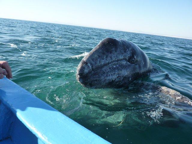 Baby Grey Whale in Guerrero Negro.JPG