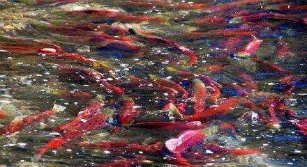 salmonhome.jpg