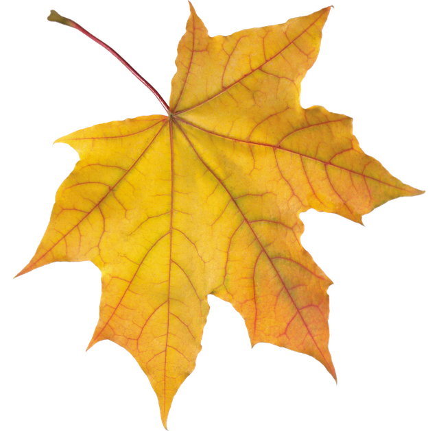 purepng.com-yellow-autumn-leafautumnleavesleafmapleseasonfall-541521068221nserh.png