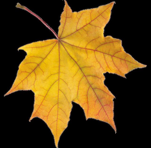 purepng.com-yellow-autumn-leafautumnleavesleafmapleseasonfall-541521068221nserh.png