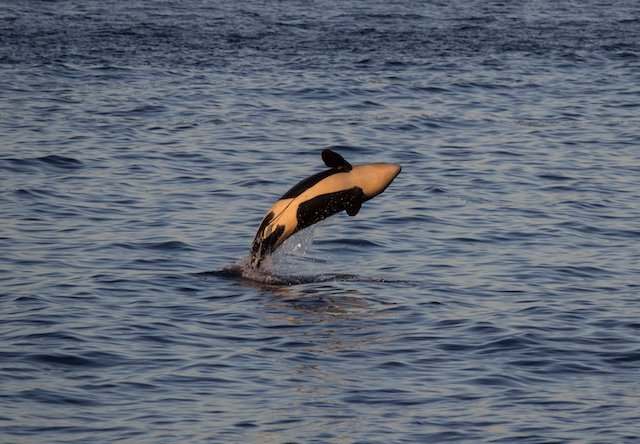 SC WC 2019 Georgia Strait Alliance whale Photo Rachael Merrett.jpg