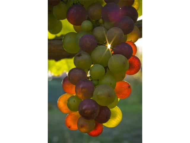 Salt spring grapes