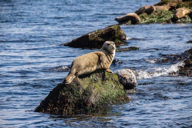 San Juan Islands Harbor Seals Photo Patrick_McEvoy.jpg.jpg