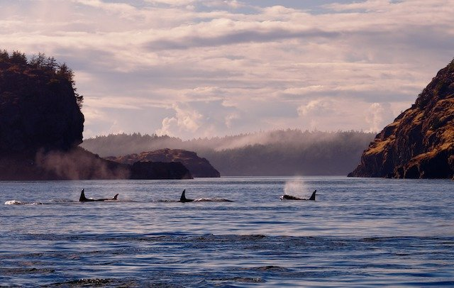 San Juan Islands whales Photo Jim Maya Photography.jpg