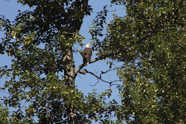 TPP Bald Eagle above river  JStoness 3278.jpg
