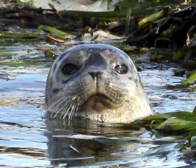 City of Blaine Harbor Seal Photo David Riffle.jpg