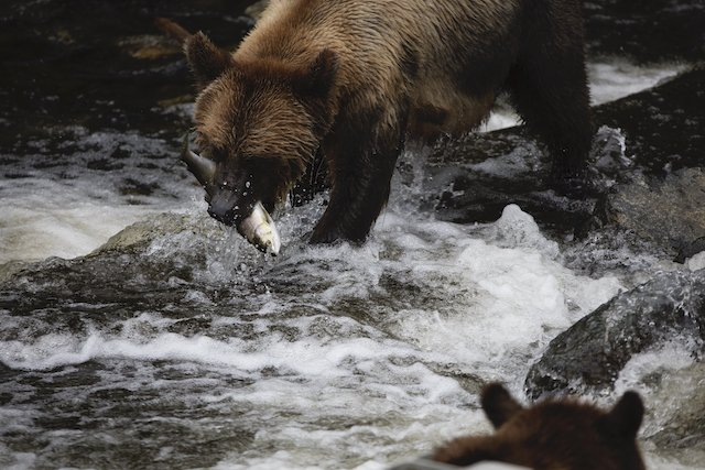 A Grizzly Bear catching a salmon at Knight Inlet