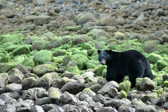 A black bear walks through seaweed covered rocks at low tide in Clayoquot Sound.