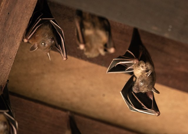 Bat Removal Tips To Get Rid Of Bats In Your Roof