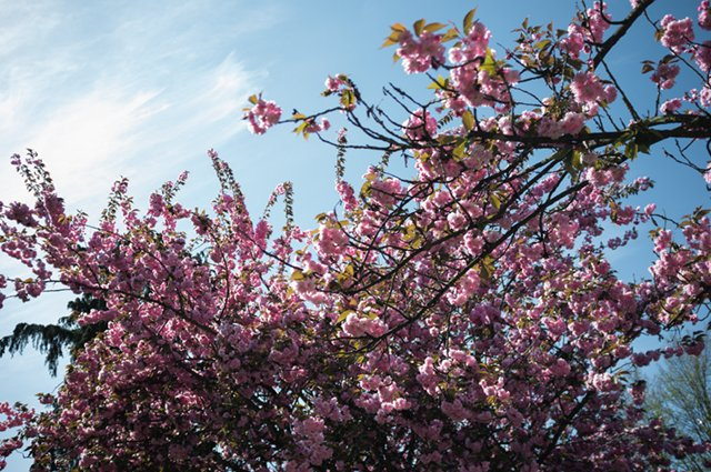 A canopy of Pink Blossoms