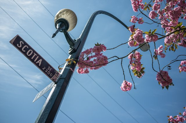 Blossoms curling around a lamp post on the corner of Scotia and 7th in Mount Pleasant