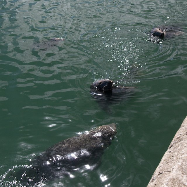 3. Ganges Harbour Seals Photo Paul Albertella .jpg