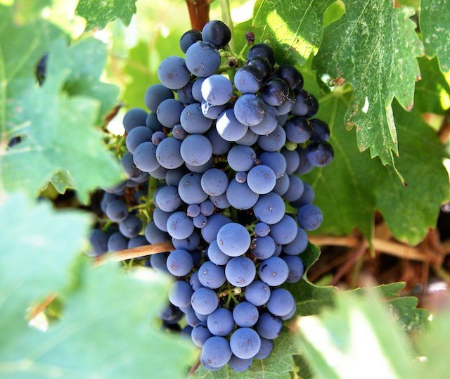 Grapes_RVwithTito-com-cropped.jpg