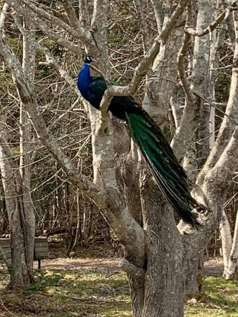 peacock_two_rivers.jpg