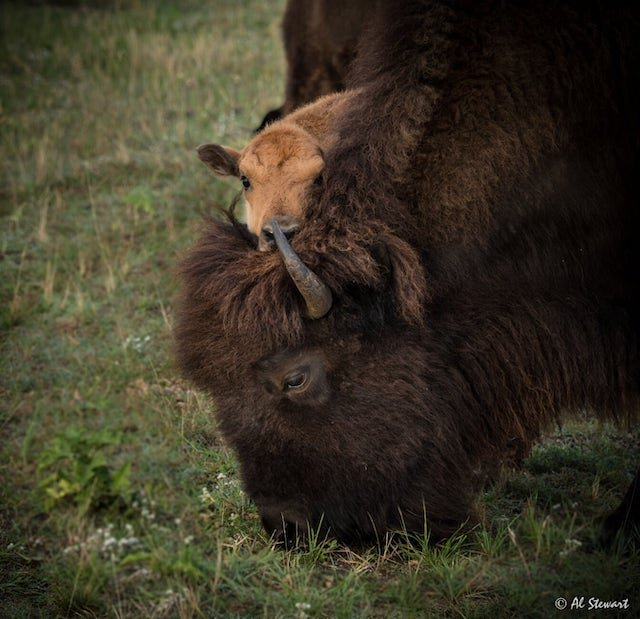 Bison and calf-AlStewart-BuenaVistaSafari.JPG