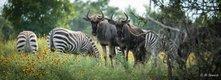 Zebra and Wildebbest_AlStewart-BuenaVistaSafari.JPG