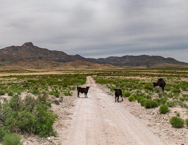 4 RV Tips Roads Photo Jason Betzing Cows on the road.jpg