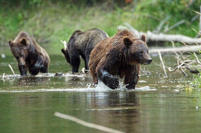 Lead Bella Coola Bears photo Tom Skinner.jpg