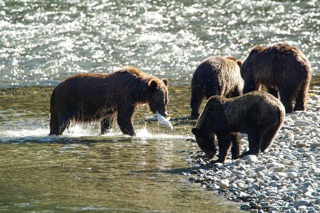 7 Bella Coola Bears photo Tom Skinner.jpg