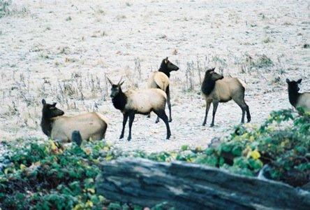 Dosewallips Elk.jpg