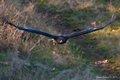 Golden Eagle 3 (1 of 1) stuart sanders dec 2013.jpg