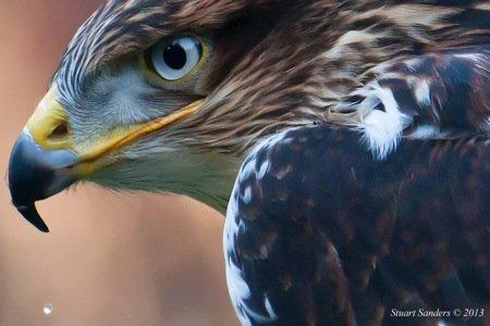Hawk 4 (1 of 1).jpg
