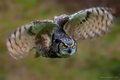 Horned Owl 6 (1 of 1).jpg