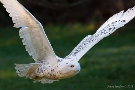 Snowy Owl 6 (1 of 1).jpg
