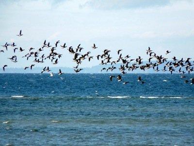 Brant flying large flock.JPG
