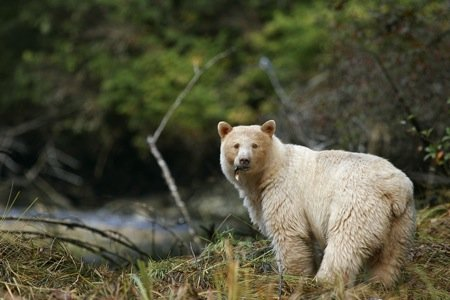 Spirit Bear with fish in mouth