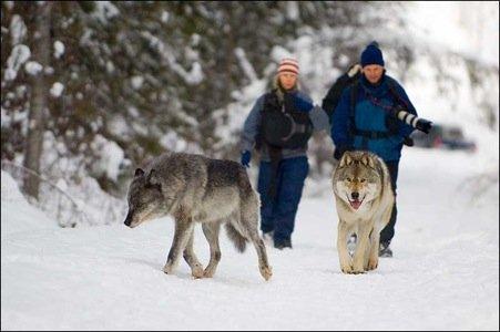 Walk Among Wolves