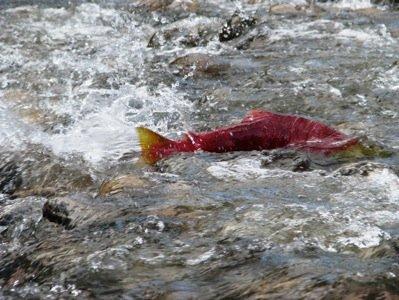 Salmon Trailer Photo.JPG
