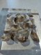Sample of quagga mussel_LScott 001.JPG