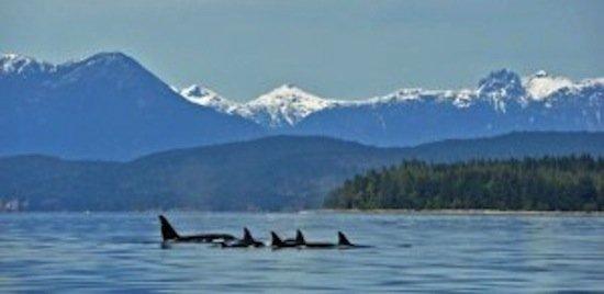 orcas-300x146.jpg