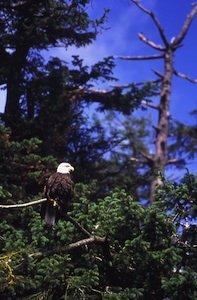 Eagle in tree Destination BC Tom Ryan 4.jpg