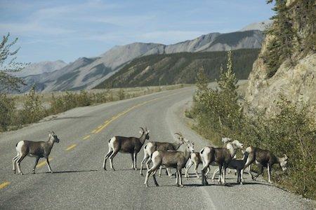 Mountain Goat Destination BC Albert Normandin2.jpg