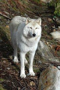 White Wolf Destination BC Tom Ryan 3.jpg
