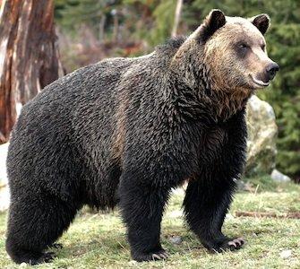Bear Destination BC Tom Ryan.jpg