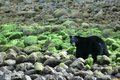 Black Bear Destination BC Tom Ryan 1.jpg