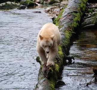 Kermode Bear Destination BC Clare Levy.jpg
