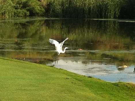 Heron in Flight at Refuge Golf and Country
