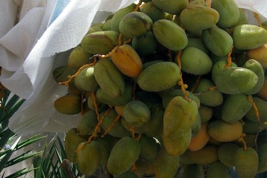 Medjool Dates from Yuma